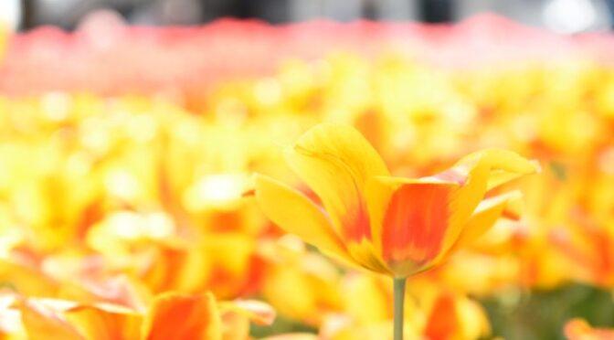 <見頃はいつ?>チューリップの名所横浜公園でお写んぽ!<どんな写真が撮れる?>